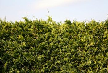 Conifers create a thick hedge for a natural look.