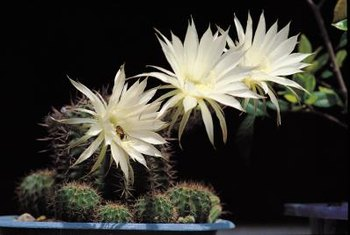 Some cactus flowers bloom only at night.