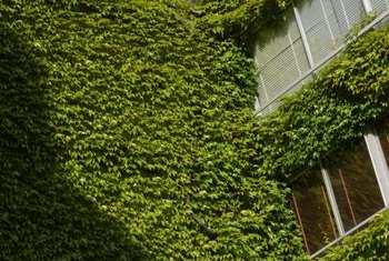 Fast Growing Ivy For Climbing A Brick Wall Home Guides