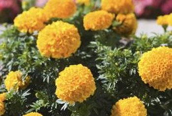 Marigolds are bright bloomers that thrive in full sunlight.