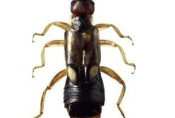 Earwigs are unusual insects in that the adult female tends her eggs and young.
