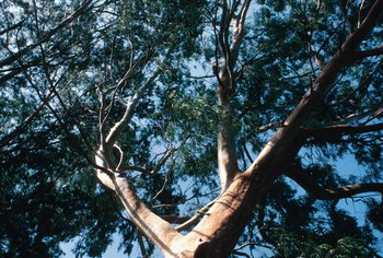 You can't use standard formulas for the rapid growing eucalyptus.