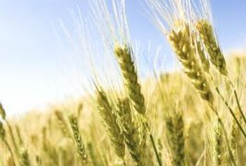 The bran and endosperm are the other two parts of the wheat berry.