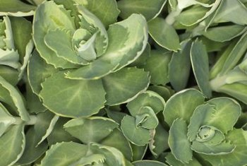 Low-growing stonecrop succulents store water efficiently.