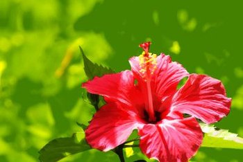 Hibiscus flowers add color to tropical decor.