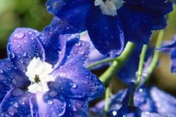 Proper delphinium pruning can encourage a second flowering period.