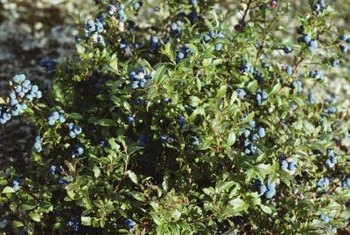 Blueberry bushes can live many years if given proper care.