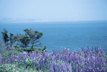 The moderate growth of sea lavender is primarily through rhizomes instead of seeds.