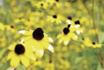 How to grow perennial brown eyed susans home guides sf gate brown eyed susans have slightly shorter petals than other rudbeckias mightylinksfo