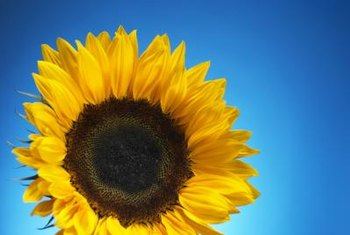 Sunflowers are commercially cultivated for the oil and seeds of the plant.