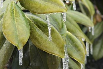 Rhododendrons maintain their leaves, even in icy conditions.