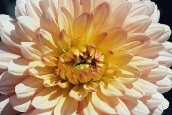 Chrysanthemums feature a huge number of forms, colors and sizes.