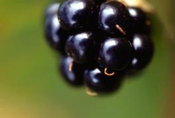 Ripe blackberries possess a sweet but mildly tart flavor.