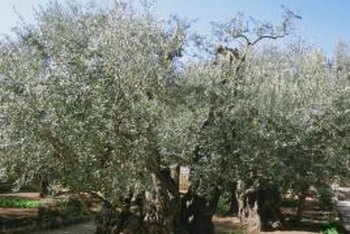Olive trees thrive in dry, warm regions similar to their native Mediterranean habitat.