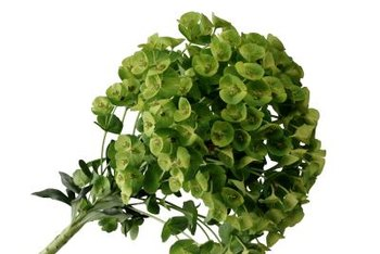 Euphorbia plants have cup-shaped, papery-looking flowers.