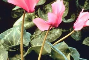 Cyclamen flowers provide color in winter gardens.