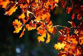 The Shumard oak's lobed leaves turn from dark green to fiery red and orange in the fall.