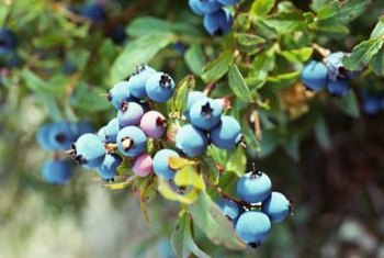 Blueberries grow well in containers with the correct soil.