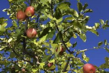 Established apple trees cannot be pruned as much as new trees.