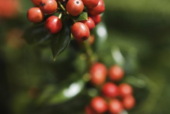 Some holly species are fast growers that tolerate shaded areas and produce ornamental berries.