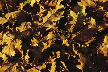 The oak tree sheds an abundance of large leaves in the fall.