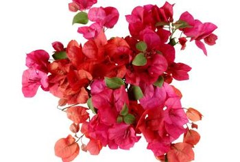 Bougainvilleas produce clusters of vibrant flowers.