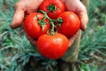 Gardeners take tender care of their favorite tomato plants.