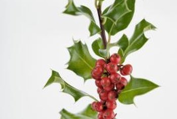 The red berries of Nellie R. Stephens holly attract birds and can be used for holiday decorations.