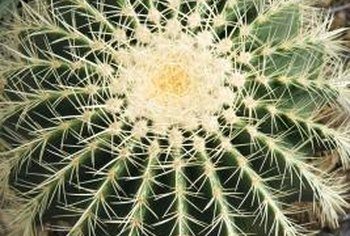 Some mature cacti are completely covered in spines.