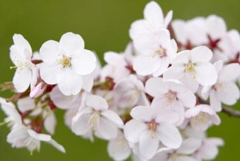 Weeping cherry blossoms are attractive landscaping features.