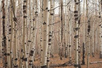 Birch trees have attractive bark and foliage.