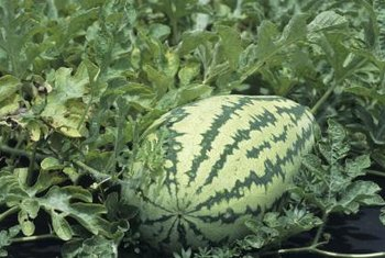 Watermelons usually ripen toward the end of summer.