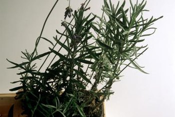 Indoor lavender plants are often small.
