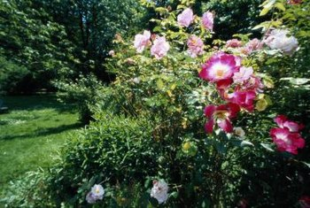 Shrub roses grow well in sunny borders.