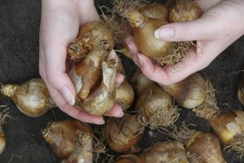 Plant bulbs with the tips facing up.
