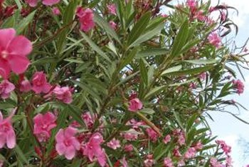 Oleander pods are hardly noticeable amid profuse flowers.