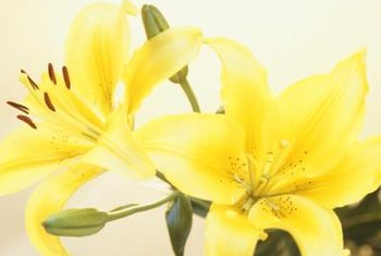 There are tiny differences between the sepals and petals on lilies.