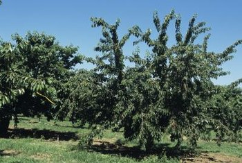 Cherries are hardy in U.S. Department of Agriculutre Plant Hardiness Zones 5 through 10.