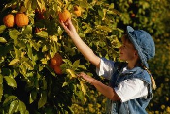 Avoid ripping the skin to prevent fruit damage during harvesting.