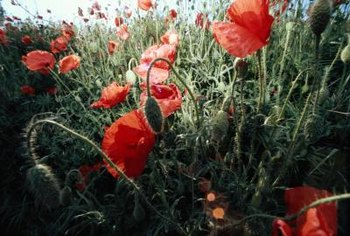 Field poppies (Papaver rhoeas) can grow 3 feet tall.