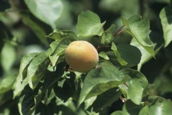 Apricots and prunes look alike and are pruned alike.