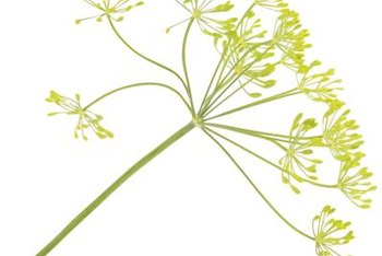 Dill produces clusters of yellow flowers that later develop seeds.