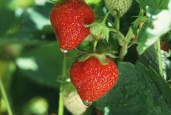 Strawberries thrive when grown in hanging baskets.