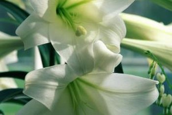 Easter lilies (Lilium longiflorum) have white blooms.