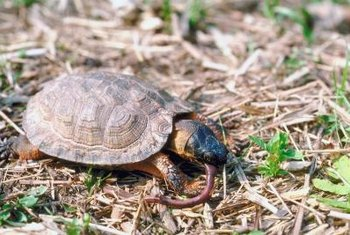 Besides eating garden tomatoes and insects, turtles also feast on earthworms.