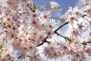 The cherry tree produces a mass of pink or white flowers in the spring.