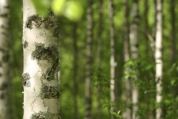 Birch trees feature a pale trunk with peeling bark.