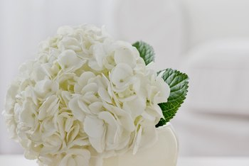 Healthy, happy hydrangeas produce more and better blossoms.