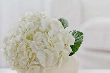 White hydrangea make stunning cut flowers.