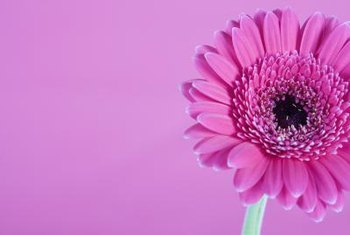 Brighten your garden with gerbera daisies.